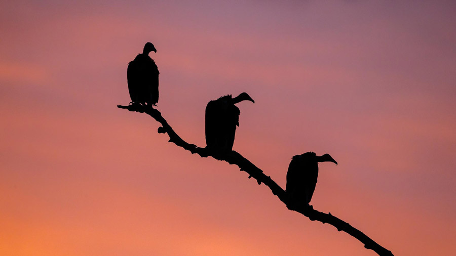 Hooded-vultures-south-luangwa