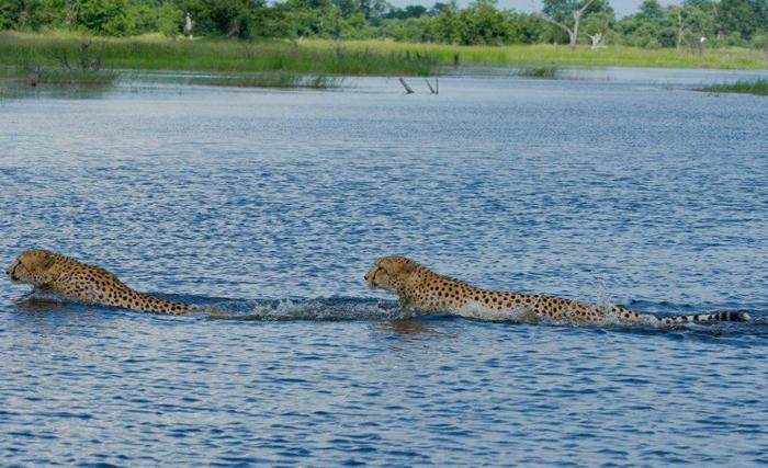 Hsantharam-cheetah-swimming