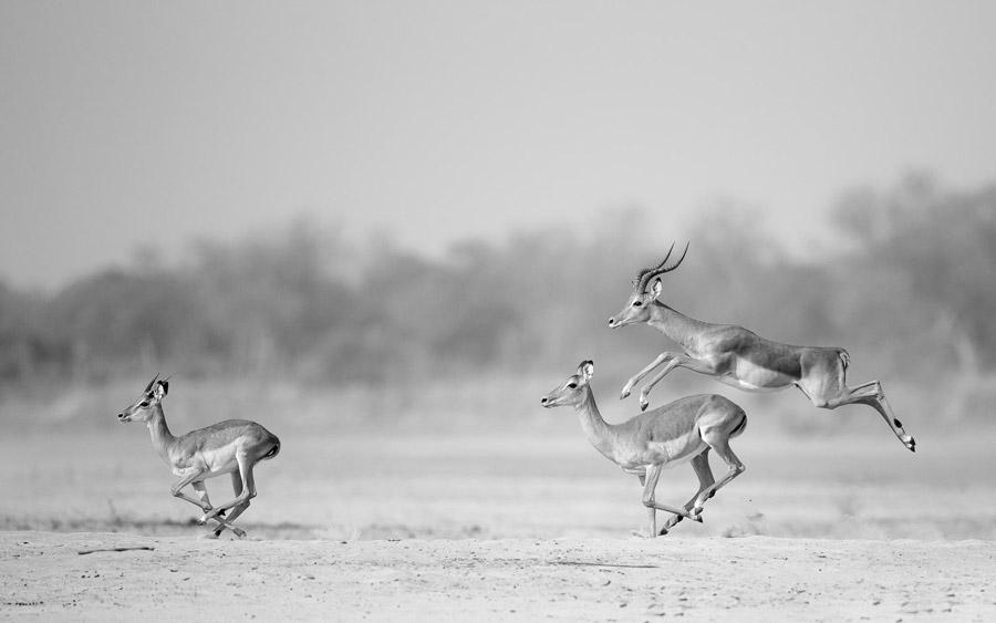 Impala-jumping-south-luangwa