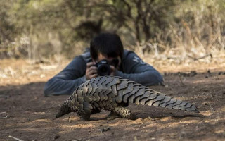 Photographing a  southern ground pangolin in Musina, Limpopo, South-Africa © Joseph-Healy-Rennison