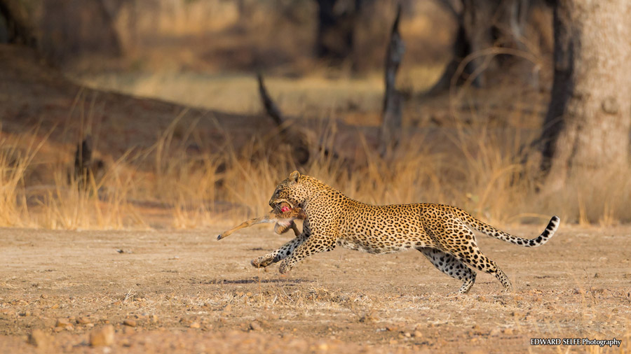 Leopard-fleeing-with-quarry-edit