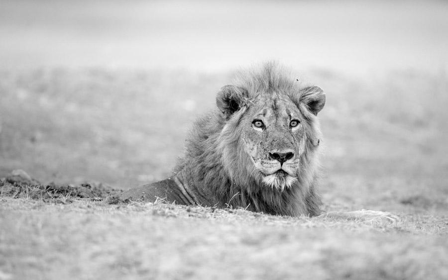 Lion-stare-south-luangwa