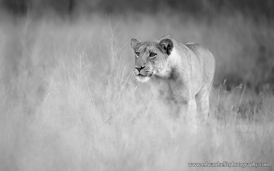Lioness-hunting-South-Luangwa-Ed-Selfe