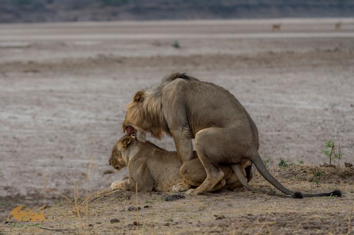 Matin-lions