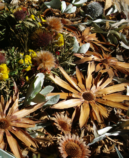 The stars of dried protea flower head bases ©Megan Blatchford