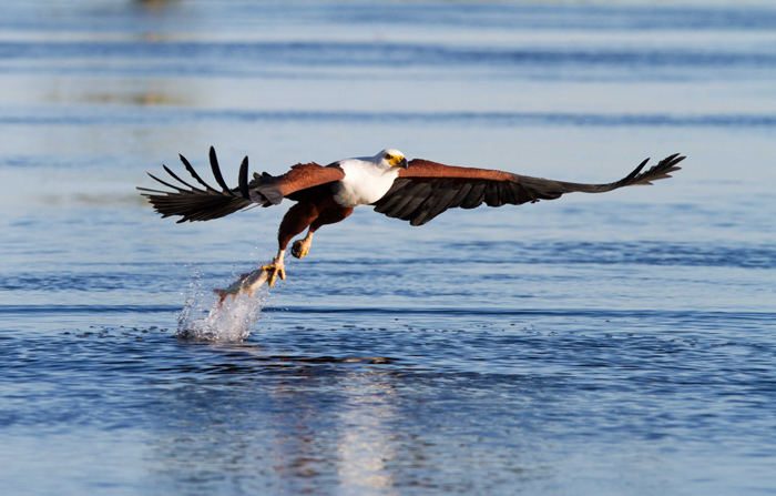 An African fish eagle in action on the Chobe River, Botswana © Rina Lombard