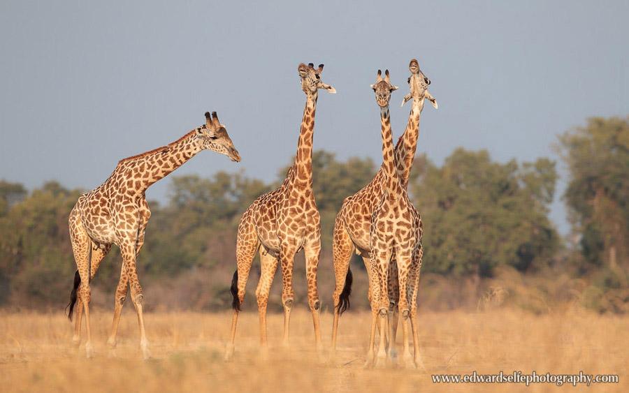 Thornicrofts-Giraffe-Ed-Selfe--South-Luangwa