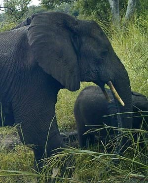 In this photo released by Fauna & Flora International, a rare African forest elephant is seen by a remote-sensing camera, in Western Equatoria State, South Sudan. ©Fauna & Flora International via AP