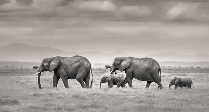 amboseli-Ol-Tukai-Elephant
