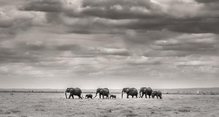 amboseli-Ol-Tukai-Elephants