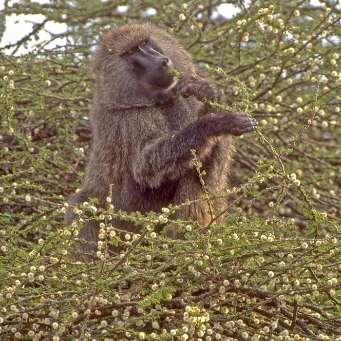 baboon-tanzania-monkey-day-matembezi