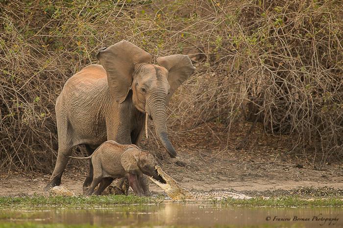 baby-elephant-bitten-by-croc