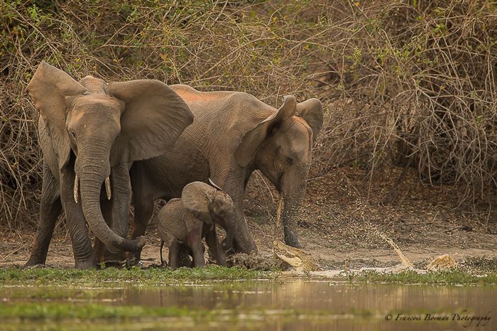 baby-elephant-saved-from-crocodile