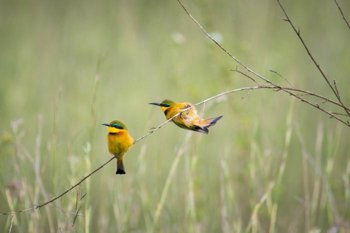 Little bee-eaters © Stuart Price