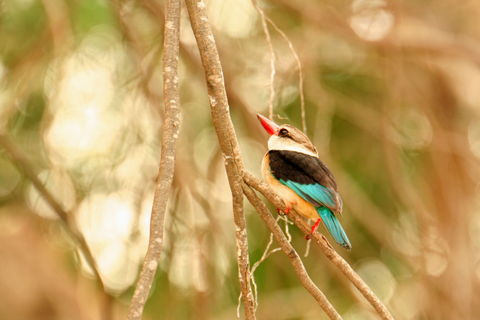 brown-hooded-king-fisher_selous-game-reserve