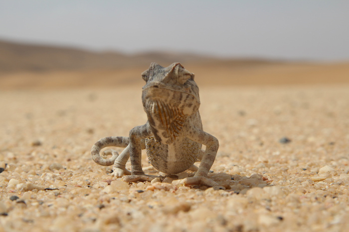 chameleon-namib-desert