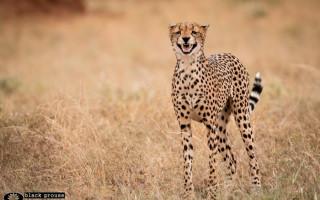 cheetah-calling
