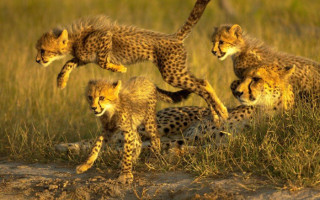 cheetah-cubs-leaping
