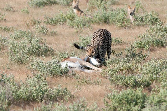 cheetah-feasts-on-kill
