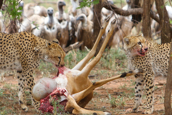 Cheetahs And Vultures In The Serengeti Africa Geographic