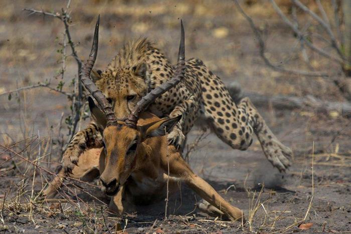 cheetah-hunting