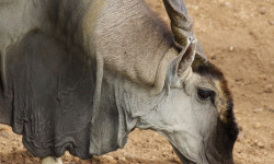 close-up-eland-drinking