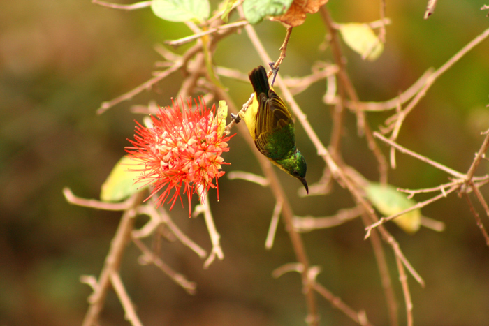 collared-sun-bird-female_selous-game-reserve