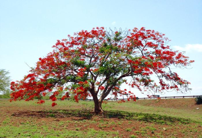 coral-tree-kwazulu-natal-zululand