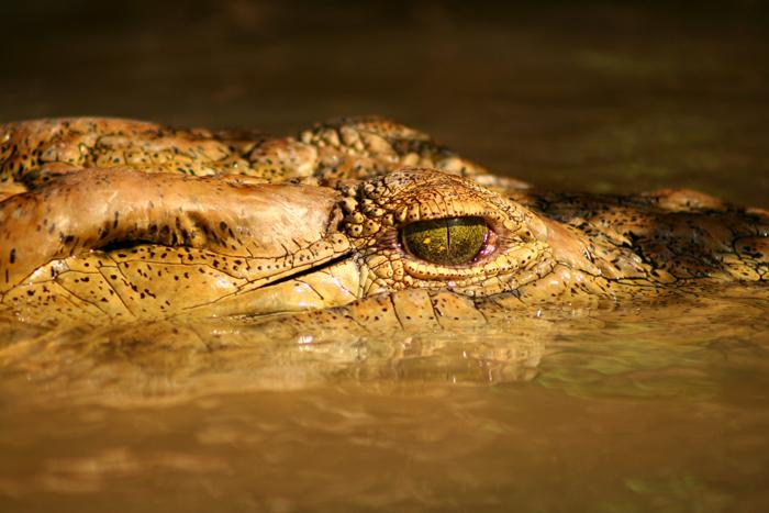 crocodile-selous-game-reserve