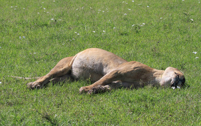 Famous Marsh Lions Poisoned In Maasai Mara Africa Geographic