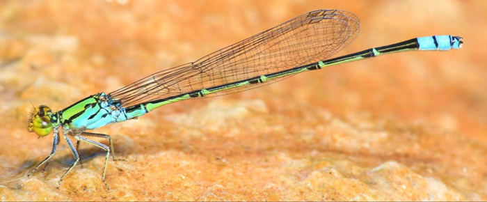 dragonfly-species-africa