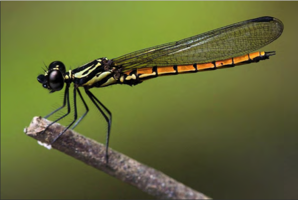 dragonfly-species-discovered
