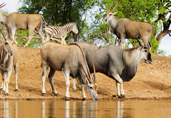 eland-zebra-foal