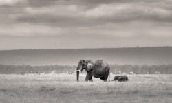 elephant-at-amboseli