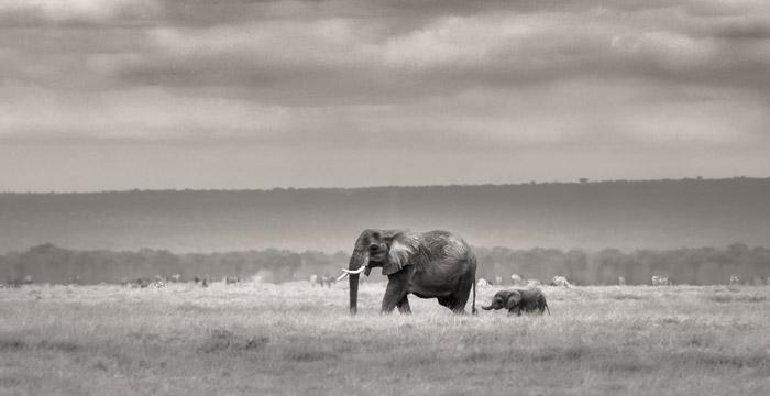 elephant-at-amboseli