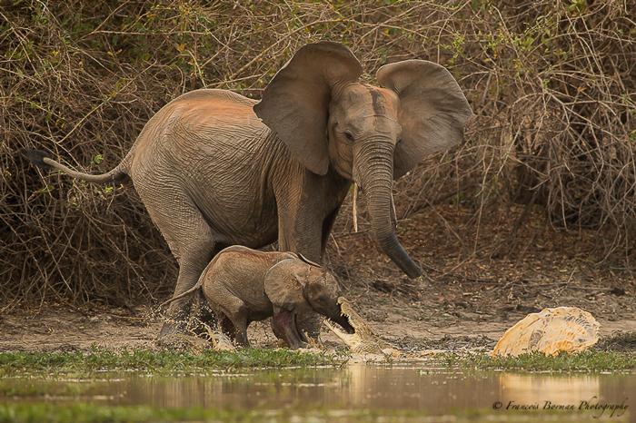 elephant-croc
