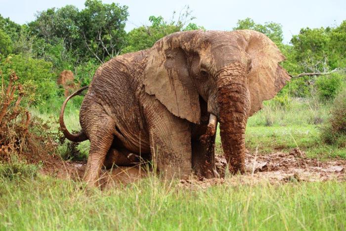 elephant-in-a-mud-puddle-sosian-lodge-laikipia