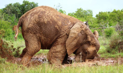 elephant-in-mud-sosian-lodge-laikipia