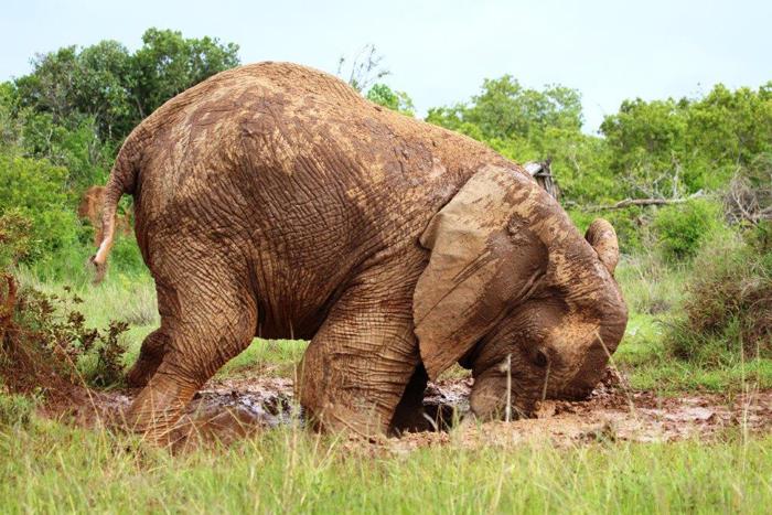 elephant-in-mud-sosian-lodge-laikipia