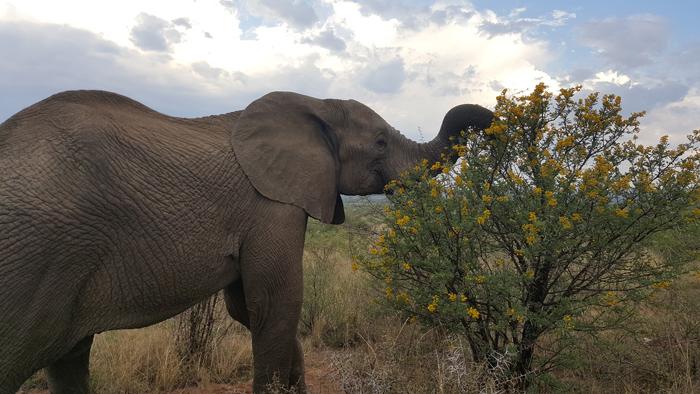 elephant-pilansberg