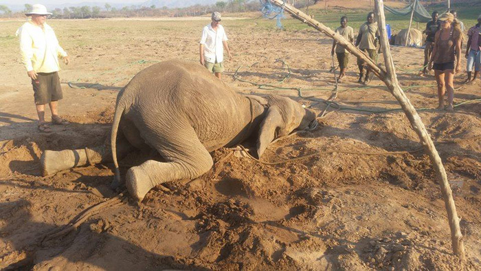 elephant-too-weak-to-stand