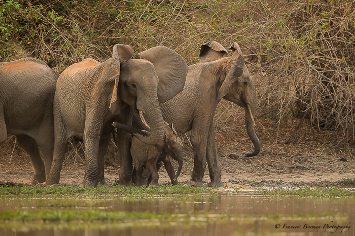 elephants-protect-baby-from-croc