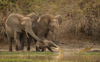 elephants-rescue-baby-from-crocodile