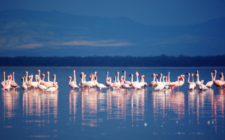 Flamingos on Lake Nakuru © Xiaojun Deng