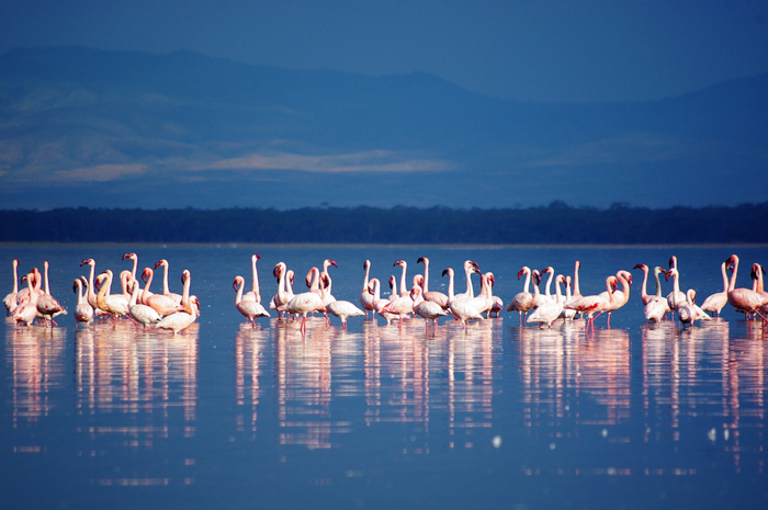 Flamingos on Lake Nakuru © Xiaojun Deng