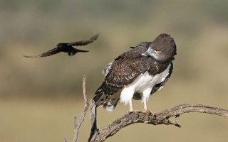 fork-tailed-drongo-attcks-eagle-bushwise-filed-guides