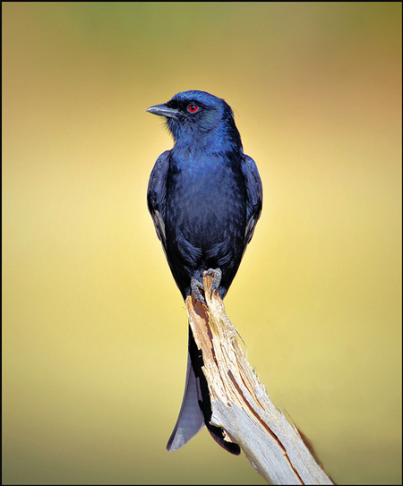 Image result for fork tailed drongo