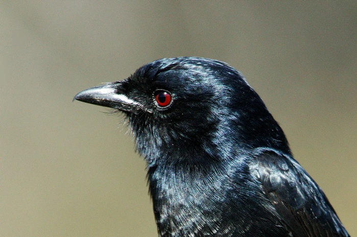 Image result for Drongo bird