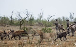 four-hyenas-one-lion-zebras