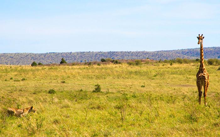 giraffe-lioness-hunt